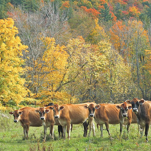 A row of cows in front of orange and yellow fall foliage.
