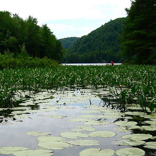 Photo of a lake with lily pads.