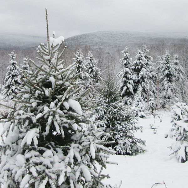 Photo of pine trees covered in snow.