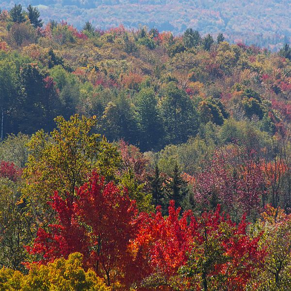 Photo of a view overlooking the forest's reds, purples, golds and greens during fall folilage season.