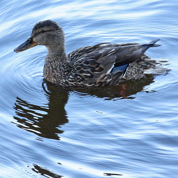 Photo of a duck in water.