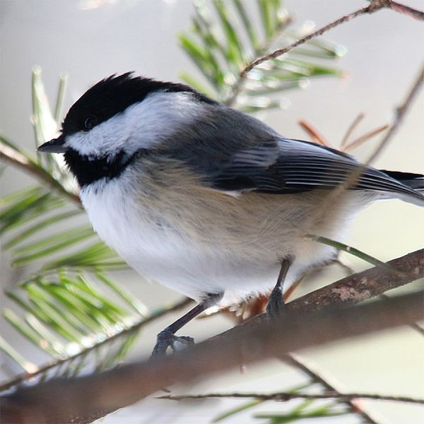 Photo of a Black-capped Chickadee in a hemlock tree.