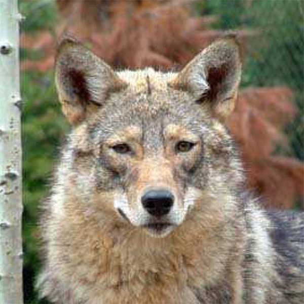 Photo of an eastern coyote